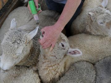 drenching ewes
