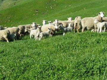 Ewes grazing sub