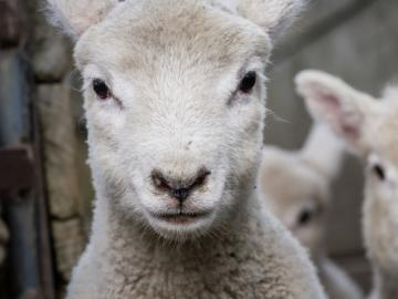 Image of lambs.