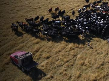 ute and cows
