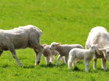lambs with ewes