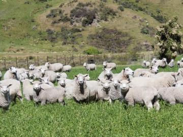 Mob of ewes