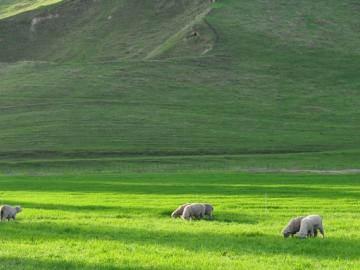 Image of sheep grazing.