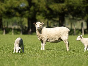 Image of sheep and lambs