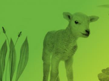 AgInnovation banner - image of lamb and drone
