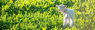 Image of lamb in grass