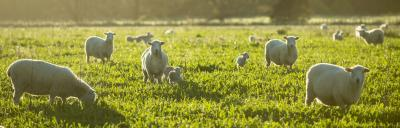 Image of sheep in sun