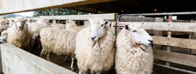 Image of sheep in pens