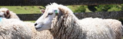 Healthy sheep