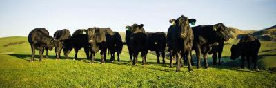 Image of angus cattle