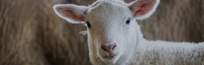 Image of lamb