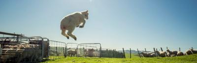image of jumping lamb