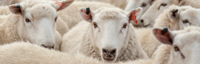 Image of rams.