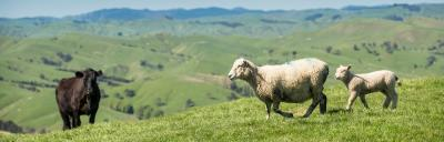 Image of a sheep, lamb and cow on farm.