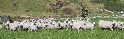 Mob of ewes