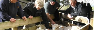 Image of farmers body conditioning scoring ewes