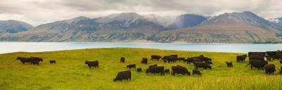 cattle grazing lush grass