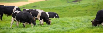 image of cattle grazing