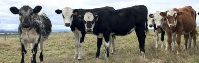 image of dairy beef cattle