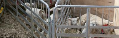 lamb-rearing