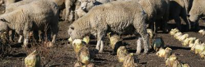 Image of lambs eating fodder beets