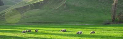 Image of sheep grazing.