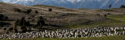 mob of sheep in winter