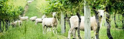 sheep in vinyards