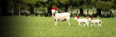 Xmas sheep