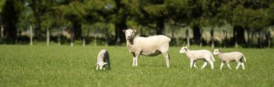 Image of sheep and lambs