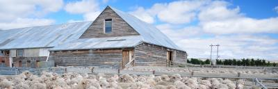 Picture of sheep and old barn