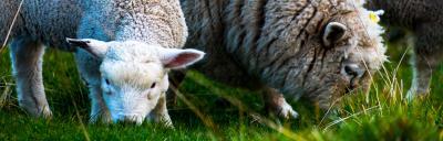 ewe and lamb eating